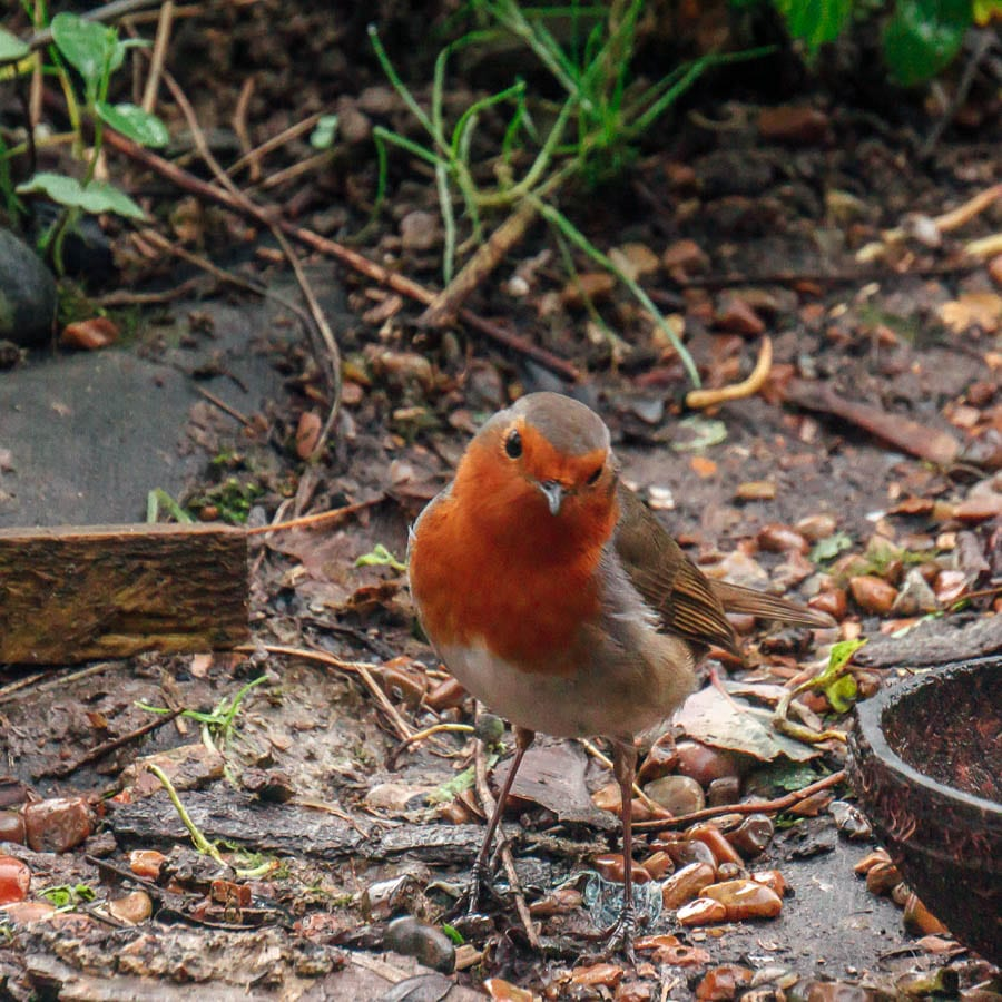 Winter Garden Birds Robin