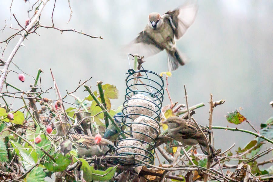 Sparrow landing on feeder