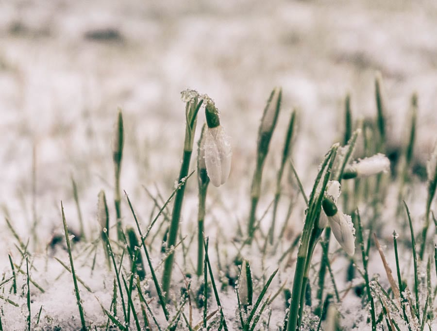 Snowdrop facts snow