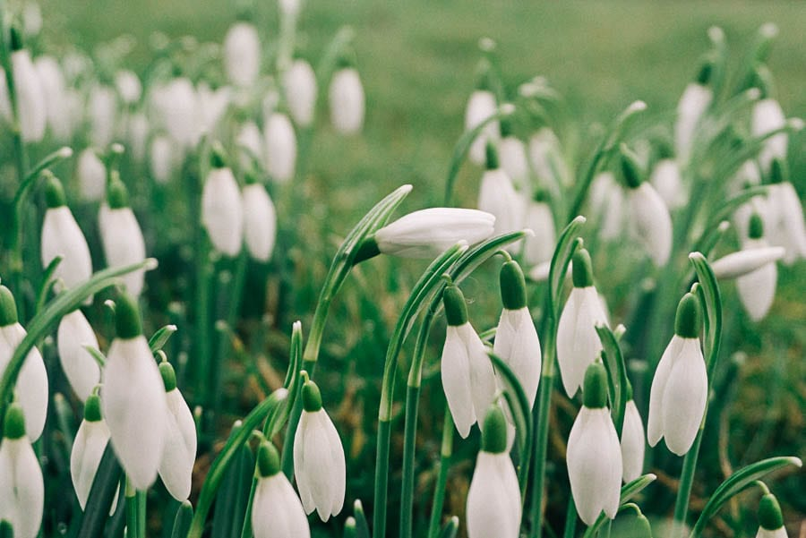 Snowdrops facts cluster