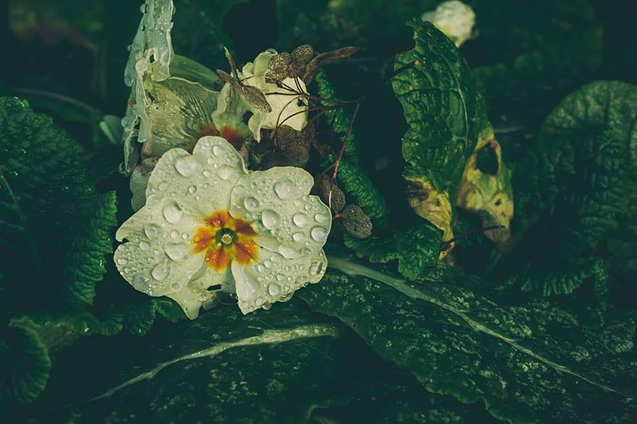 Winter flowers primroses water droplets