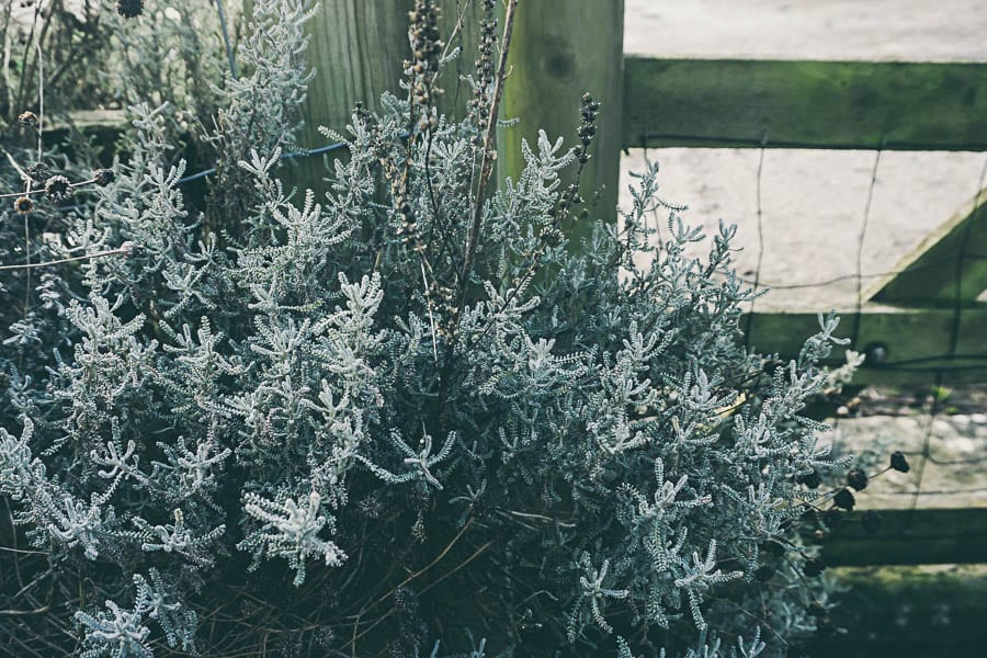 Winter flowers santolina