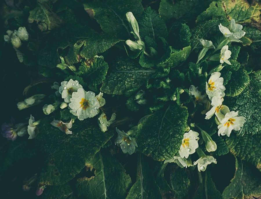 Winter flowers yellow primroses
