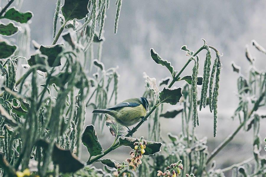 Winter garden blue tit mahonia garrya