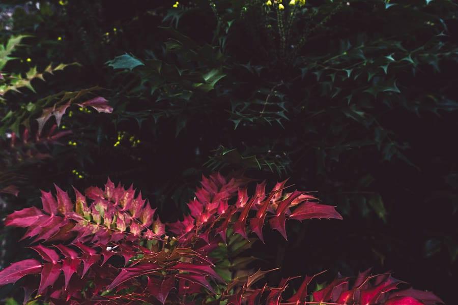 Winter garden mahonia species