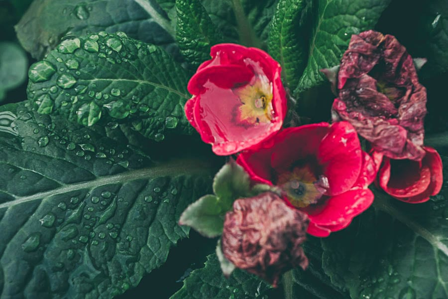 Winter garden polyanthus