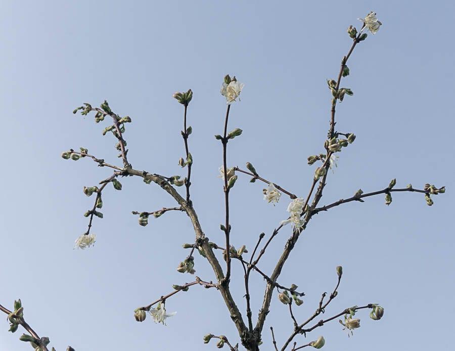 Winter garden sweetest honeysuckle and sky