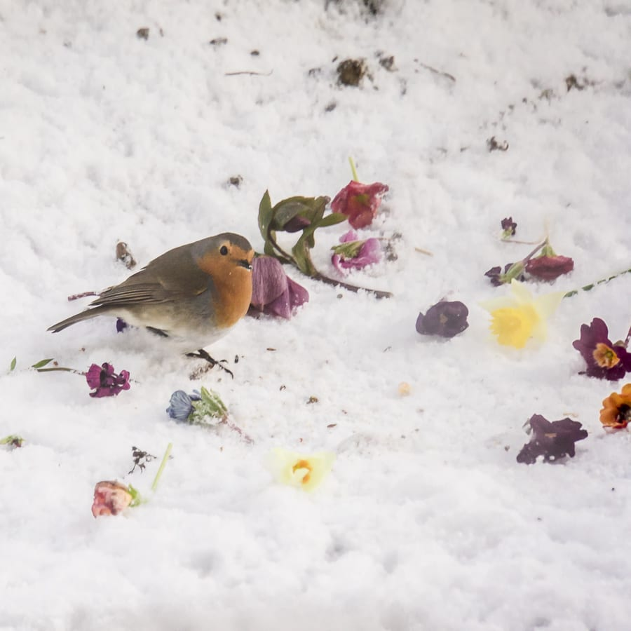 Winter spring Robin flowers