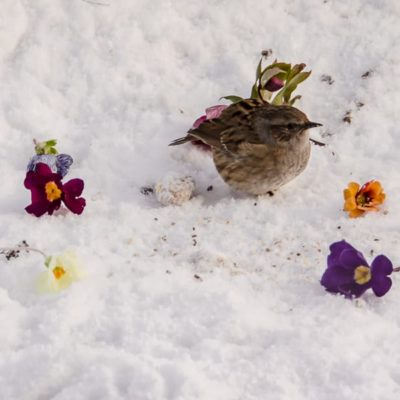 winter snow wren flowers