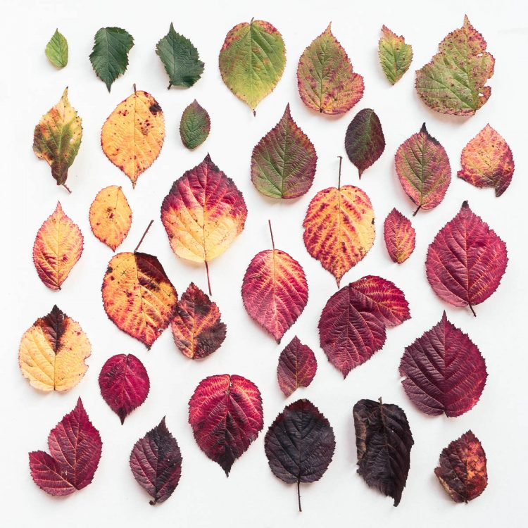 Bramble Leaves hues