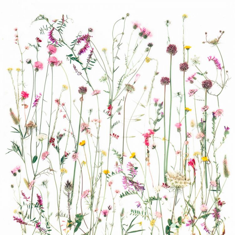 Mellow Meadows Algarve wild flower botanical art