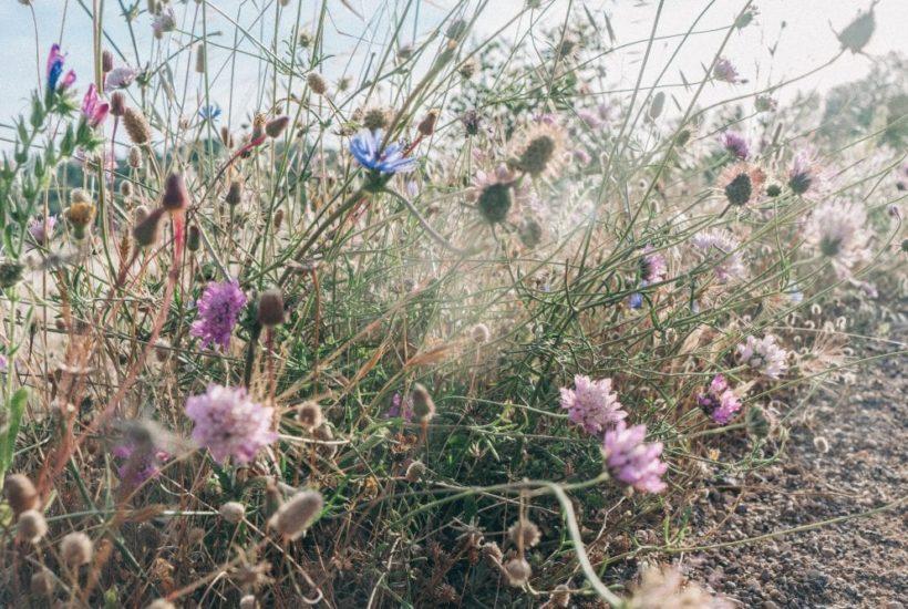 Roadside wild flowers Algarve