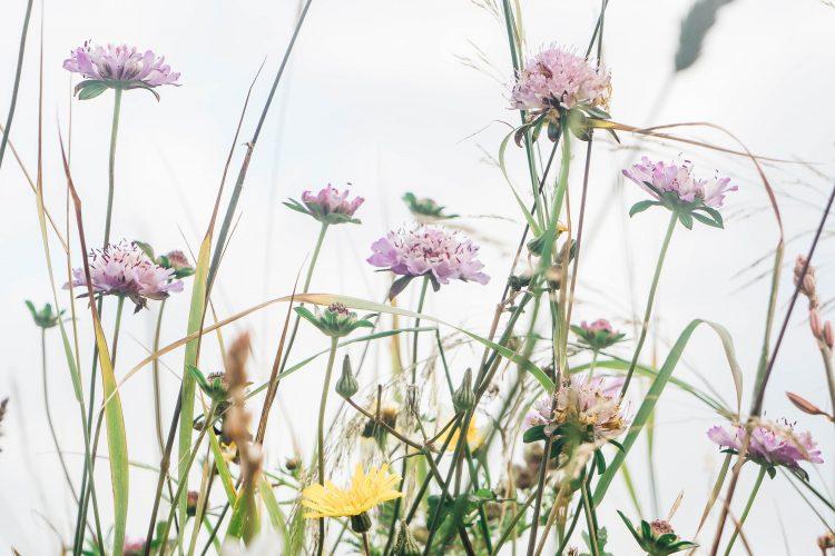Sagres wild flowers