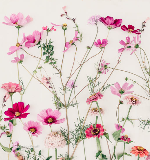 cosmos botanical photo kriss macdonald