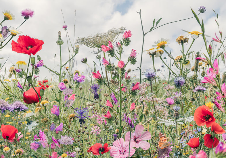 wild spring meadow kriss macdonald